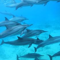 【ハワイ島】イルカ高等学校! 遭遇率90% 大好きなイルカと一緒に泳げる絶好のチャンス (送迎なし)