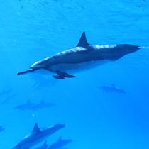【ハワイ島】イルカ高等学校! 遭遇率90% 大好きなイルカと一緒に泳げる絶好のチャンス (送迎あり)