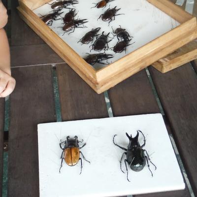 オリジナル標本作りと昆虫観察ツアーの写真