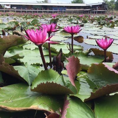 ナコンパトムで蓮の池観光の写真