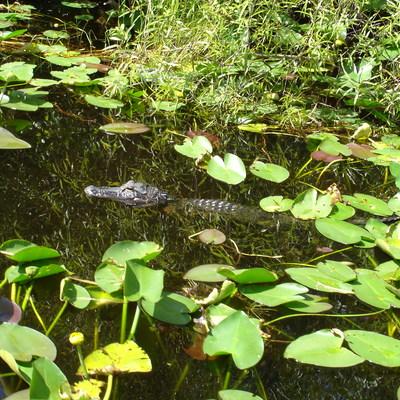 世界遺産エバーグレイズ国立公園・エアーボ...の写真