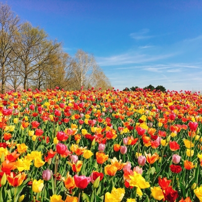 《期間限定》キューケンホフ公園観光 世界...の写真