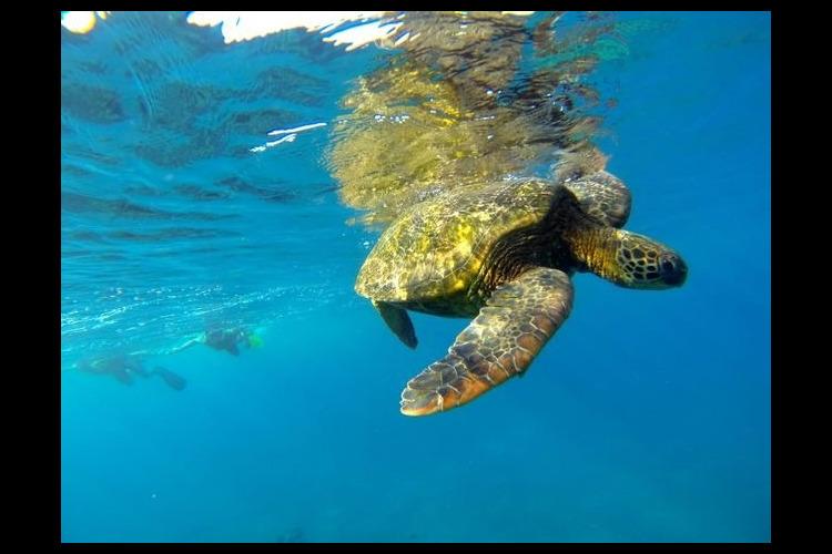 シュノーケリングでウミガメと泳ごう ター...の写真