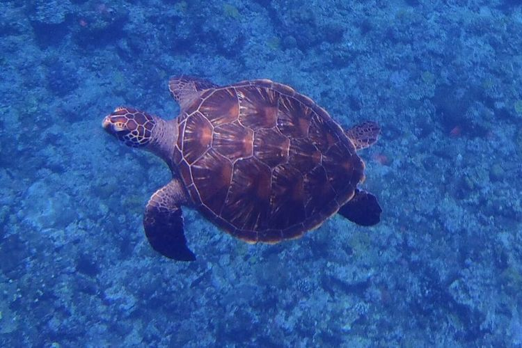 慶良間(ケラマ)諸島大サンゴ礁シュノーケ...の写真