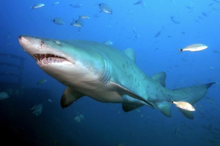 サメの遭遇率100% 絶叫 スリル満点の...の写真