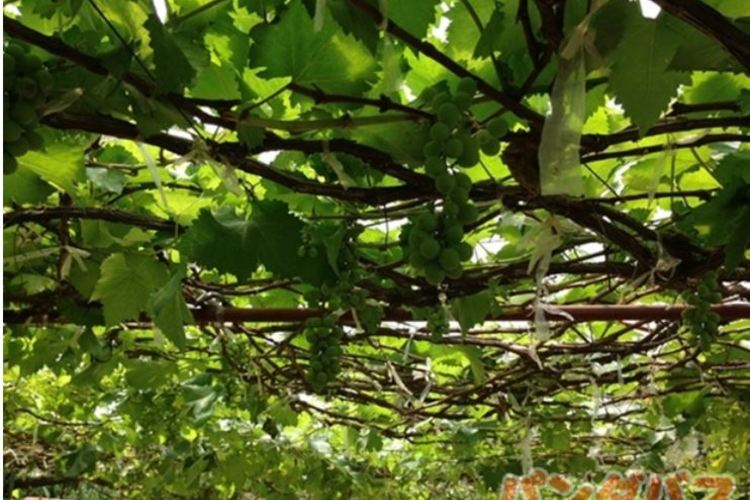 新緯度ワインを堪能 カオヤイでワイナリー...の写真