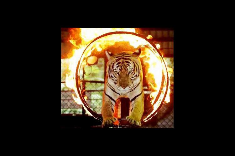 シーラチャー・タイガーズーの写真