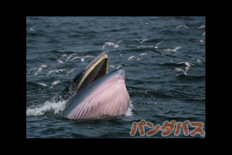 クジラを見に行こう ホエールウォッチングの写真