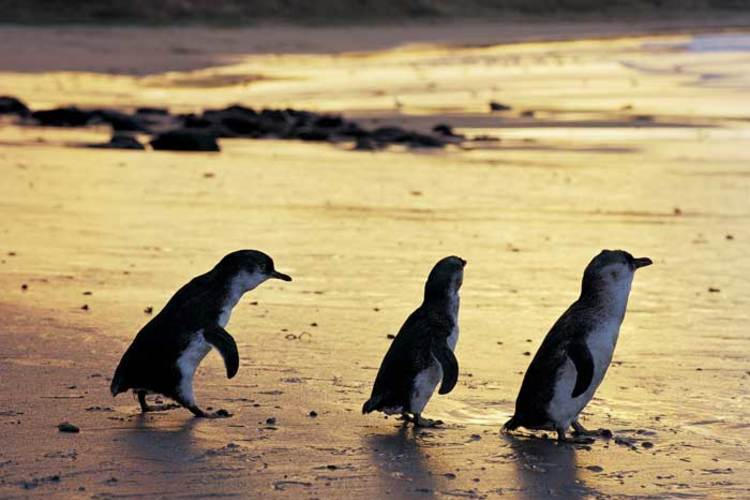 なるほど・ザ・ペンギン ! フィリップ島...の写真
