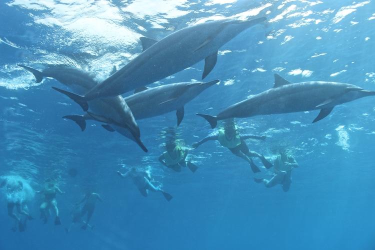 野生イルカと一緒に泳ぐ感動の体験シュノー...の写真