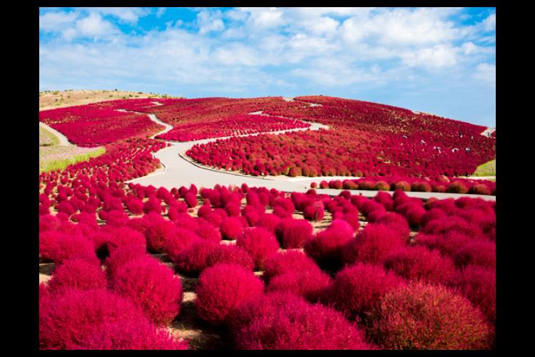 【茨城】モコモコ真っ赤なコキア&香り高い...の写真