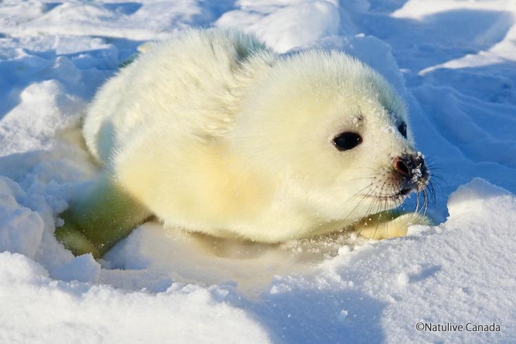 真っ白なアザラシの赤ちゃんに会いに行こう...の写真