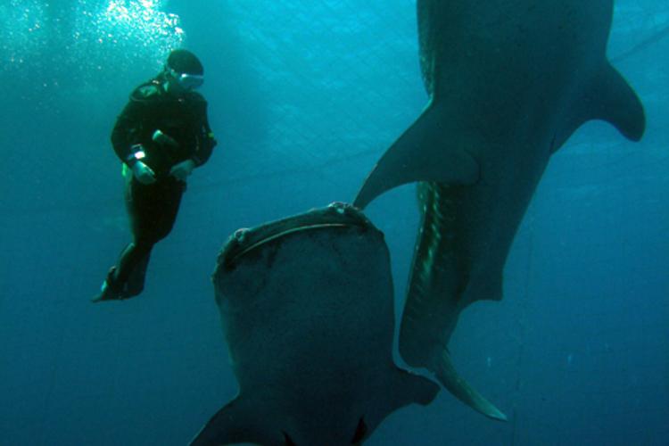 ジンベエと泳ごう!!体験ダイビング・FU...の写真