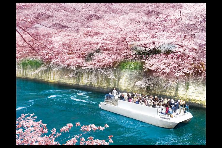 【浜松町駅出発・バス送迎】目黒川桜回廊ク...の写真