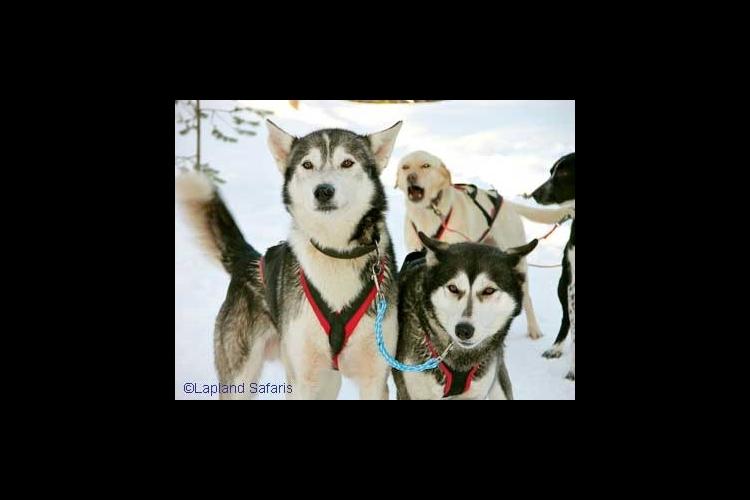 ハスキー犬ぞり体験の写真