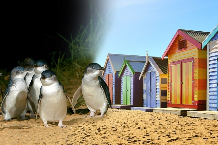 フィリップ島ペンギンパレード小グループエ...の写真