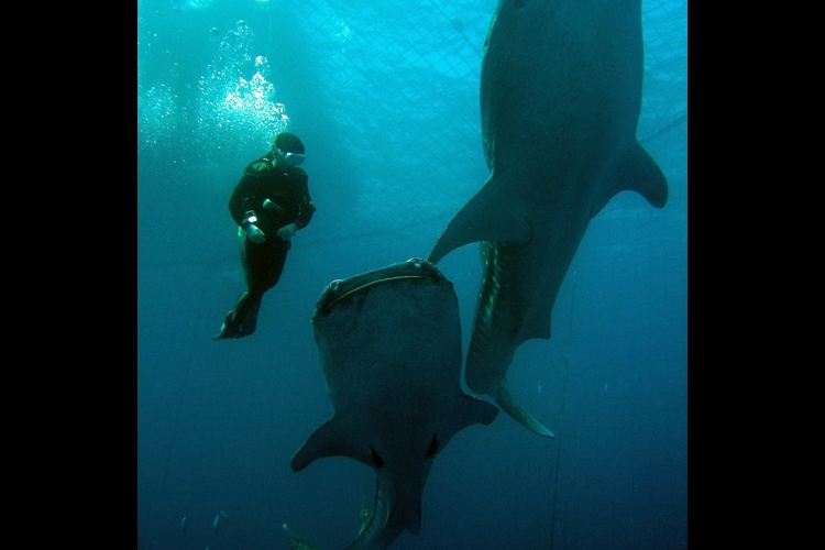 ジンベエと泳ごう !! 体験ダイビング・...の写真