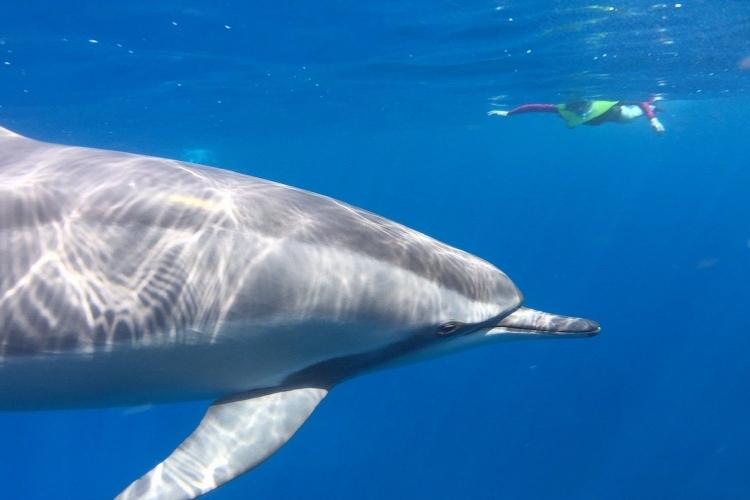 遭遇率99%!! 野生のイルカと間近で泳...の写真