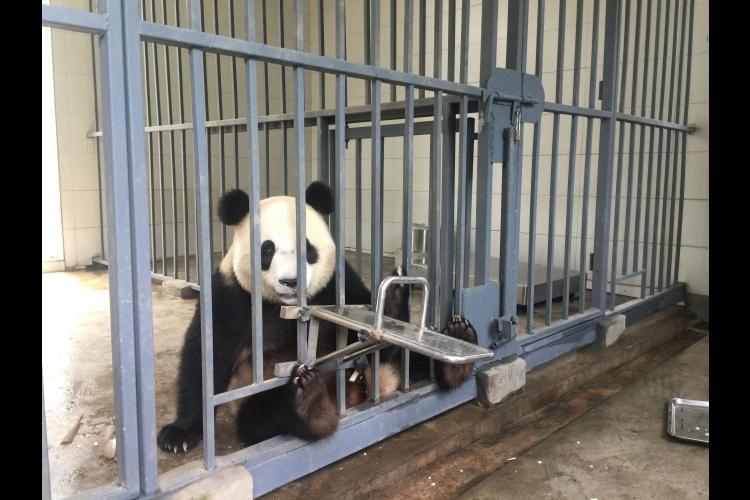 急接近!都江堰パンダ基地飼育体験の写真