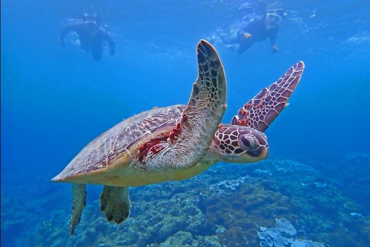 [ウミガメと泳ごう ! シュノーケリング...の写真