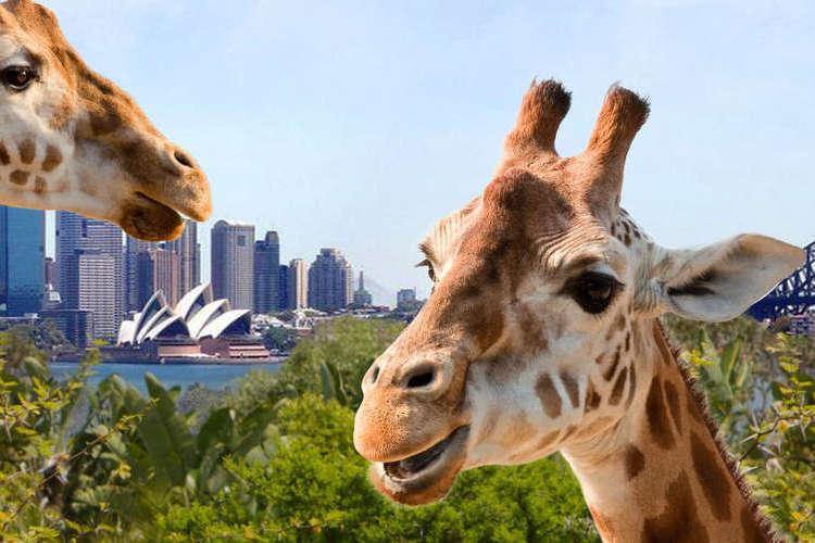 タロンガ動物園入場券 (スカイサファリ付...の写真