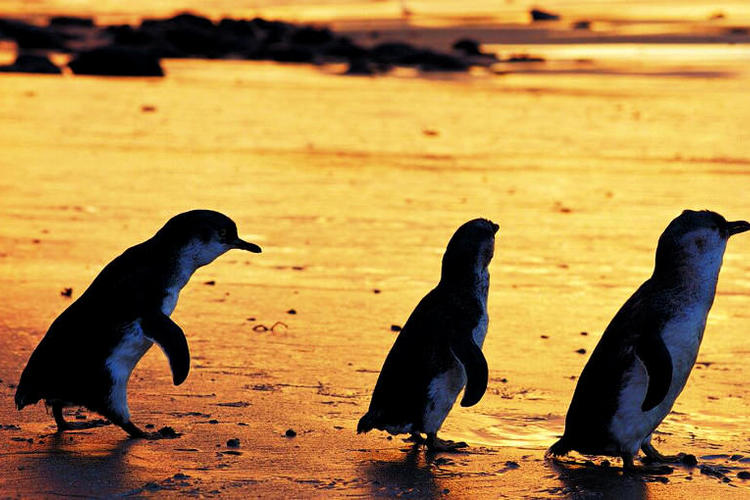 フィリップ島ペンギンパレードツアー(1日...の写真